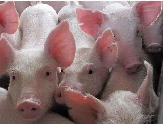 动物 猪 528_404