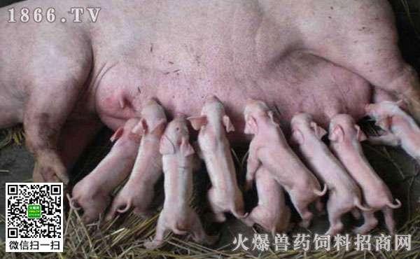 母猪为什么没有奶水?母猪没有奶水怎么办?