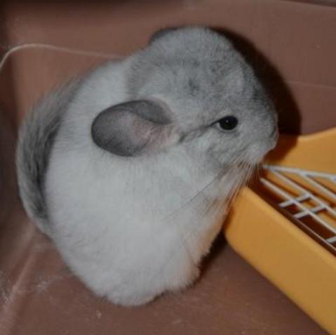 宠物频道 动物图片  银斑龙猫原本是南美洲山脉的栗鼠而且也并不叫