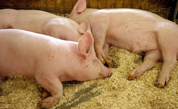 进口猪肉创新高,猪价还跌跌不休,2018年你还会养猪吗?