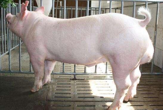 怎样提高种公猪的配种能力
