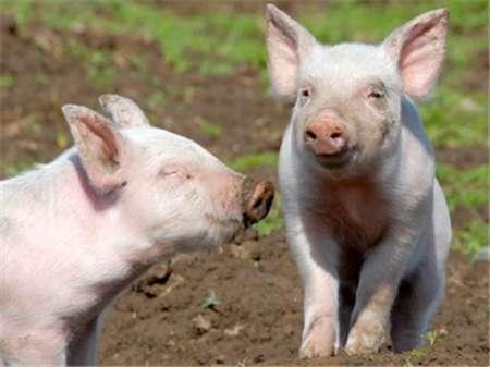 养猪还有前途吗?从丹麦养猪业揭示中国散养户的发展前景...