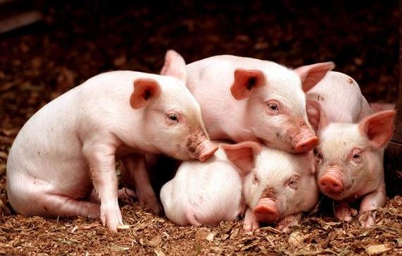 开春如何保证哺乳仔猪不死亡?这3点你要清楚