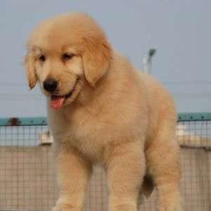 瑞安哪里有卖拉布拉多犬的