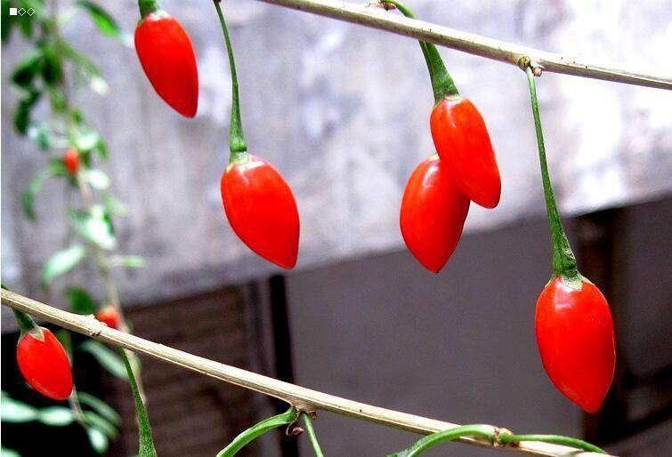 阳台葡萄和枸杞的种植方法