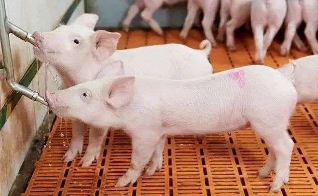 你听得懂猪叫声么?猪的哼叫频率表达了这些含义