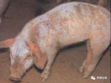 春季如何防治猪疥癣病