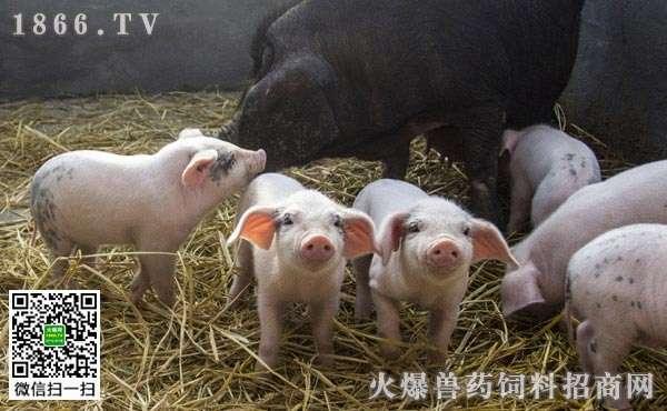猪场绿化如何规划?怎么布局有利于猪场绿化?