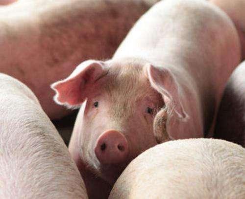 养猪50头有多少利润?