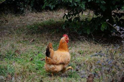 如何散养土鸡?农村土鸡散养技术