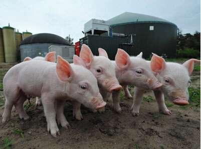 这7种猪病,最易引发春季仔猪咳嗽!需特别注意! (1)