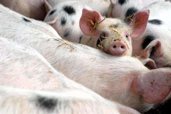 春季猪场千万小心猪疥螨病!小编告诉你如何治疗与预防! (1)