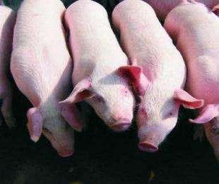 你的母猪为什么产子数少,产子率低?