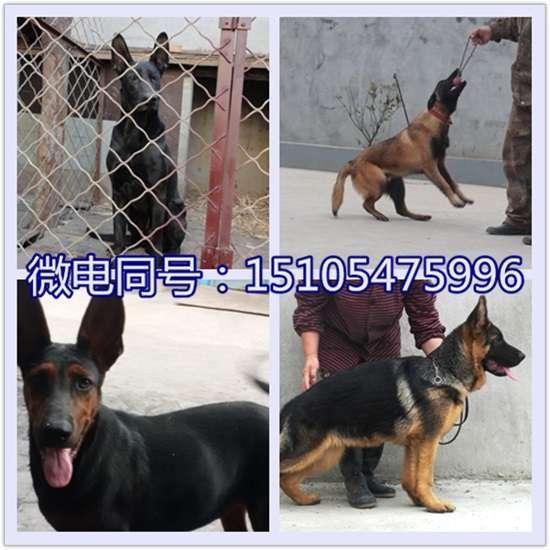 巴音郭楞日本狼青犬价格,日本狼青犬多少钱低价出售