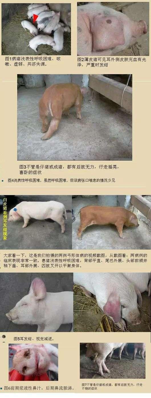 夏季多发病 比猪瘟还可怕 养猪户一定要重视
