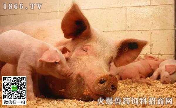 哪些疾病会引起猪发烧,如何防治猪发烧?