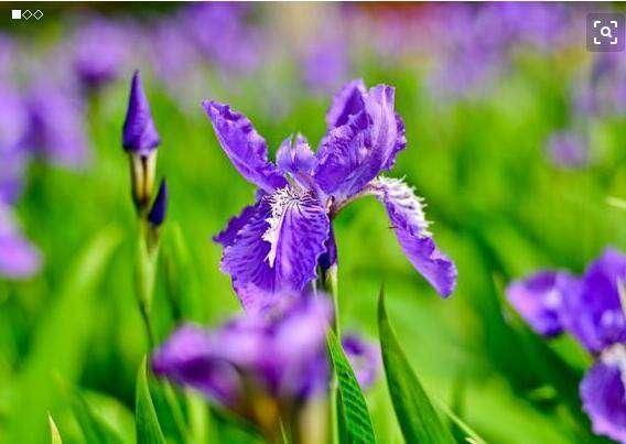 马兰花和鸢尾花的区别?鸢尾花种子种植方法