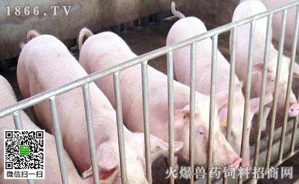 新猪场建设最关键要素有哪些?建猪舍时要注意什么?