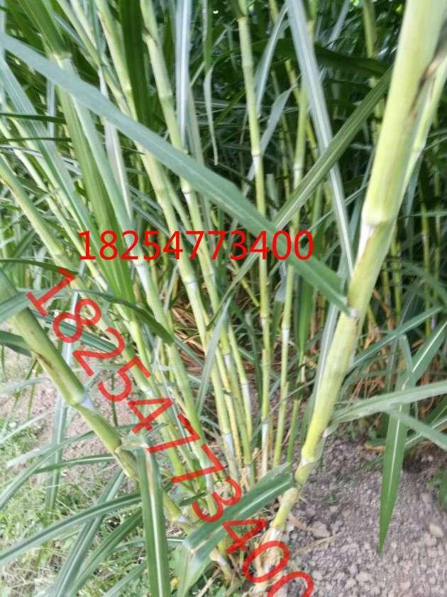 北方春季牧草种子品种多少钱一斤 (1)