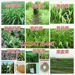 春季能种什么牧草种子好发芽率 (1)
