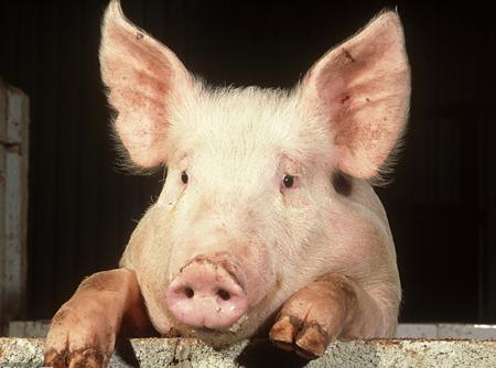 伪狂犬免疫无效?90%的人是因为用错的了滴鼻方法... (1)