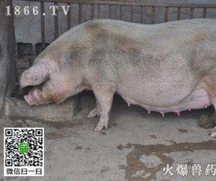 母猪在哪个季节配种比较好?母猪配种注意事项?