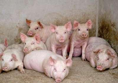 春季养猪怎样做才能不生病长得快,这些你应该知道! (1)