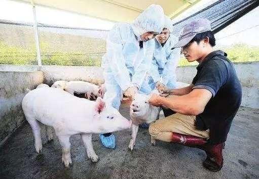 警惕伪狂犬的这些新临床症状!选择和使用疫苗时要注意…… (1)