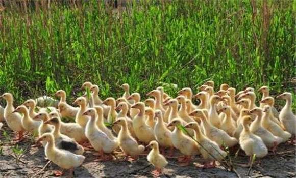 雏鹅的饲养管理 雏鹅的饲料配方
