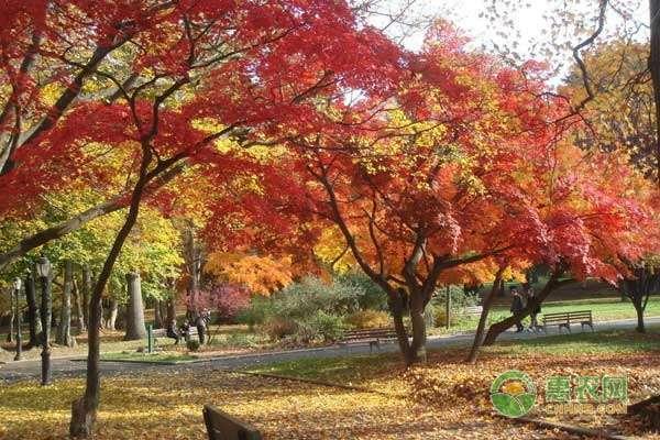 枫树种植管理关键技术