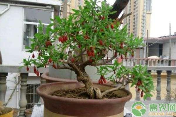 4,刚播种完的枸杞要注意保温,最佳温度在18度左右,可以在花盆口套