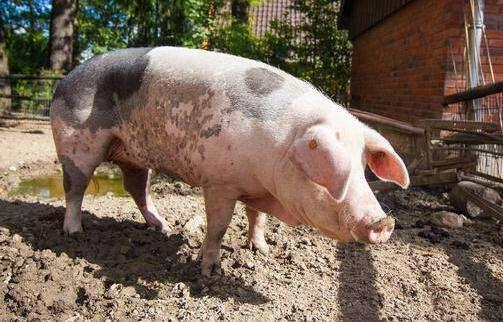 使用经处理的液态样品监控猪群蓝耳病情况 (1)