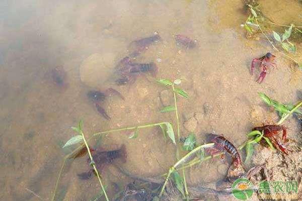 泥鳅的病虫害防治_怎样防治泥鳅的多种病_泥鳅的疾病与防治