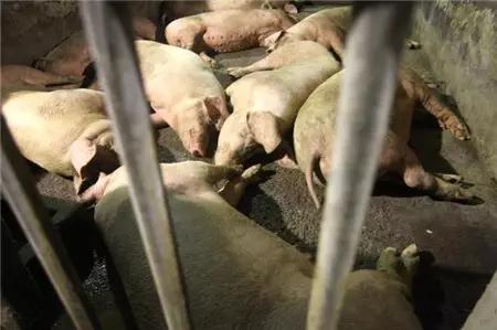 妊娠后期母猪注射弱毒蓝耳疫苗后,是否会导致仔猪成活率降低? (1)