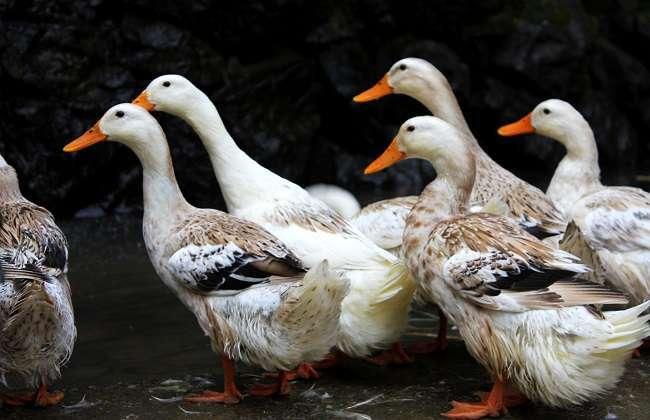 2018年养鸭政策 2018养殖鸭子补贴图片