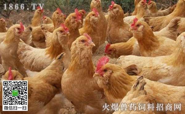肉鸡养殖易被忽视的管细节?春季肉鸡养殖注意事项? (1)