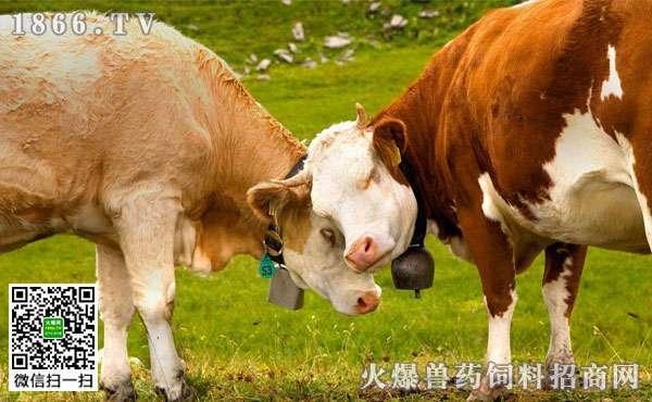 牛的消化器官有何特点?牛的消化生理又有什么特点?