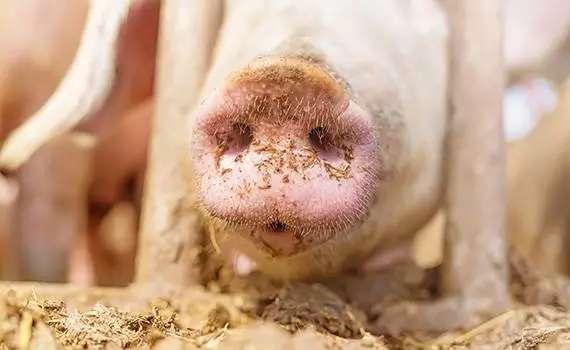 饲料调味剂中的感官评价研究