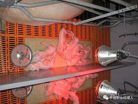 技术控|批次生产中如何降低一周内仔猪的死亡,这九个细节需要注意