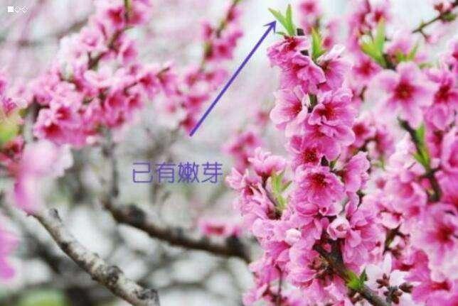 如何区分樱花桃花樱花的主要原种有哪些