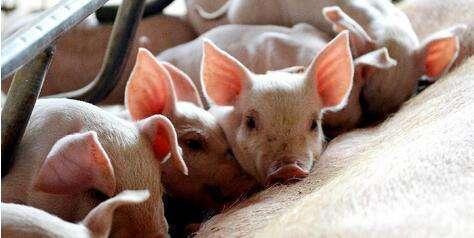 仔猪价格同比跌38.8%,养猪人用脚投票补栏意愿