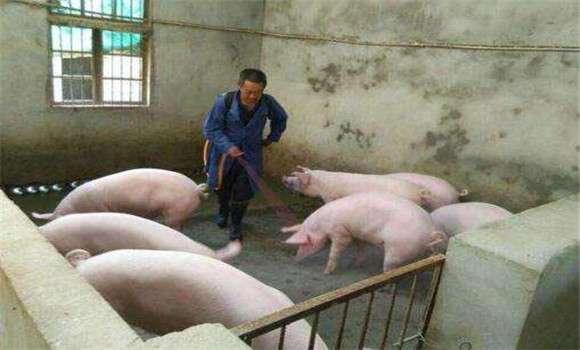 猪伪狂犬病的症状及其诊断要点 (1)
