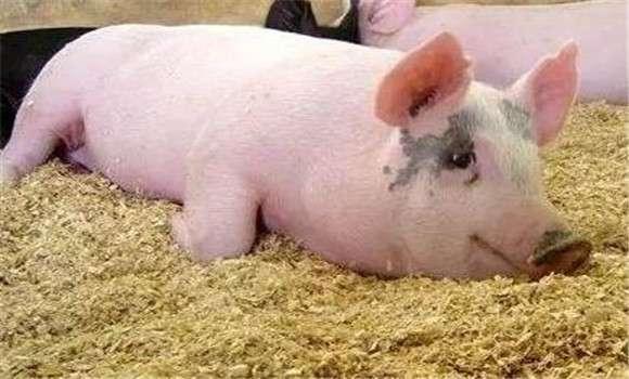 猪脑炎的症状与治疗技术 (1)