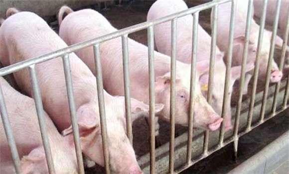 猪痢疾的治疗方法与注意事项 (1)