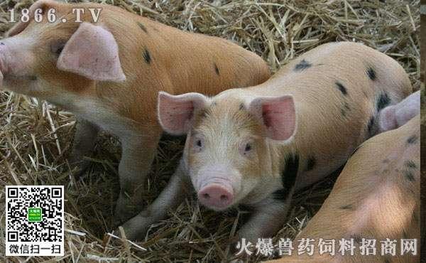 猪为什么会发热?猪发烧应该采取什么措施? (1)