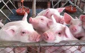 夏季长途贩运猪苗,仔猪高度应激怎么办? (1)