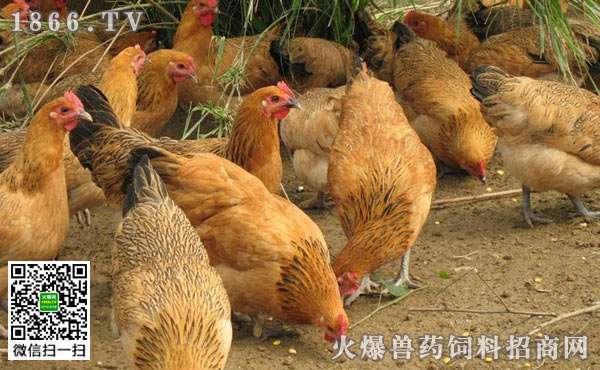 炎炎夏日就要来临,夏季该如何管理肉鸡? (1)