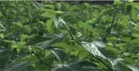 农村养猪用这种树叶,一年能节省饲料几十万!
