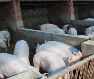 选购与使用生猪配合饲料的七大误区
