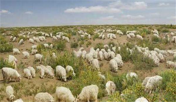 绒山羊养殖技术须知